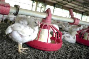 Trabajadores avícolas