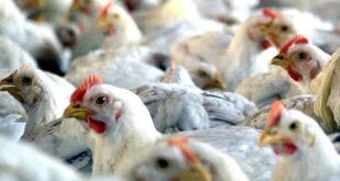 Allanan Granja avícola y retiran más de 75 mil aves